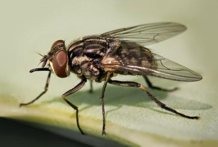 Secretaria de Saúde de Mairi faz alerta sobre proliferação de moscas e infecções provocadas pelo inseto
